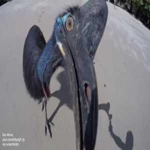 A cassowary doing a 'Neil Warnock'