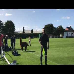 Lower league English football has it all, including an Alpaca!