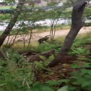 Rangers fan attempts to cut down a tree with a saw so he can get a better view of the game